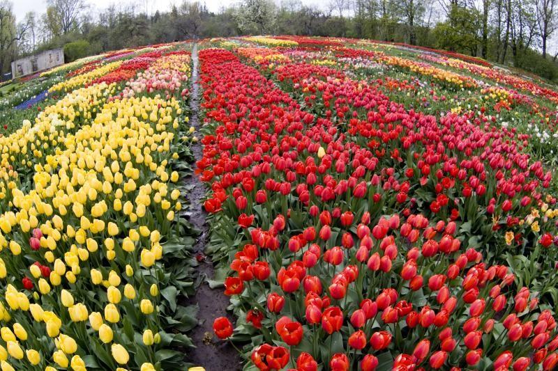 Время цветения тюльпанов в ботаническом саду