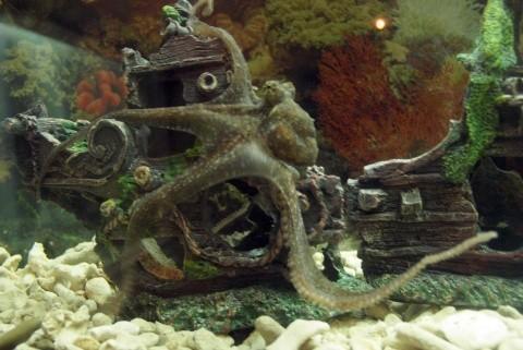 Осьминог в Варненском аквариуме