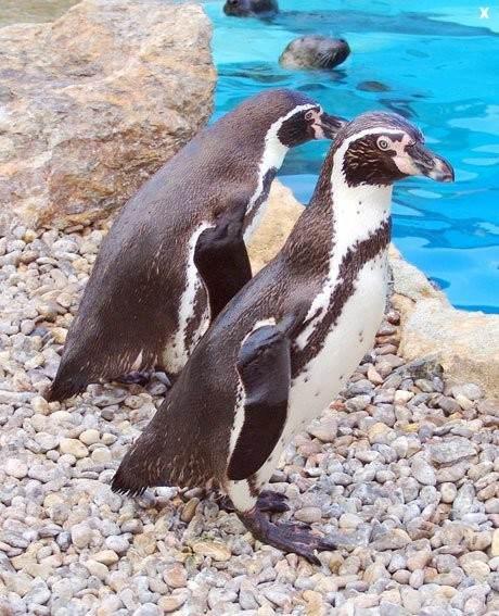Понаблюдать в зоопарке можно за пингвинами