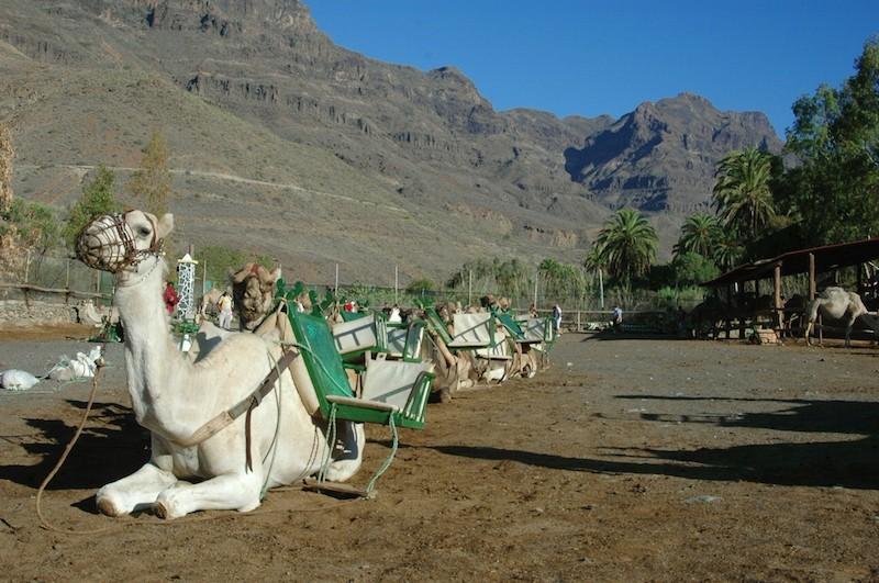 Верблюды на отдыхе