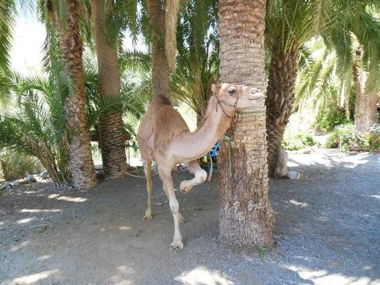 Верблюжий сафари парк Ла Баранда