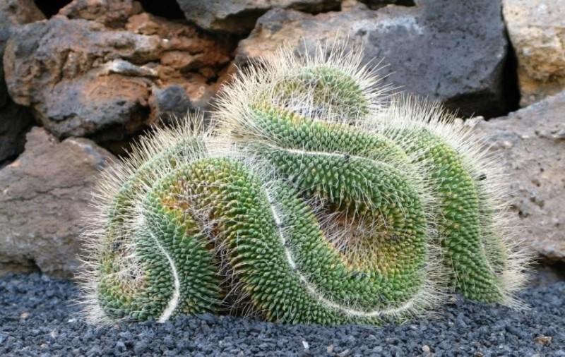 Необычные виды кактусов