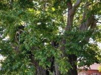 """Телави. Большое дерево из к/ф """"Мимино"""""""