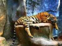Тигровый зоопарк Sriracha