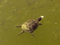 Черепахи в реке Ропотомо