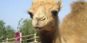 Верблюжья ферма на Тенерифе