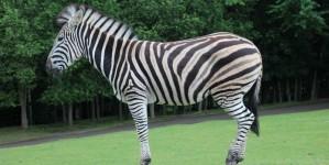 Зебра в сафари парке