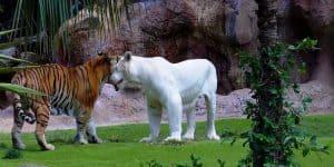 Обыкновенный и белый тигр