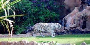 Белый тигр Лоро парка