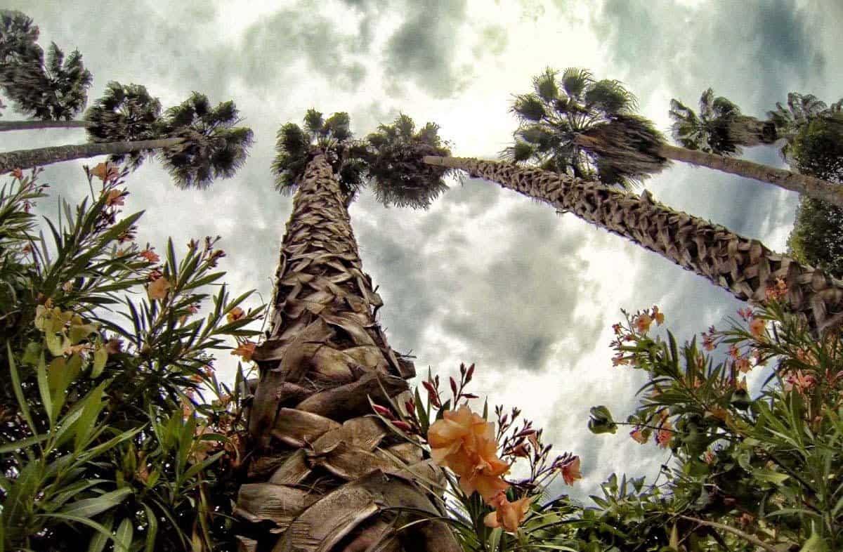 Пальмовые великаны среди кактусов
