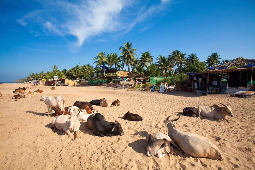 Коровы на пляжах Гоа