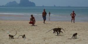 Пляж с обезьянками в Самуи