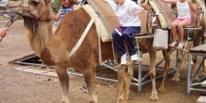 Катание грыппы детей на верблюдах