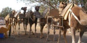 Главные жители верблюжьего парка