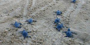 Черепах на пляже Лара