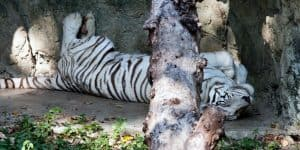 Красавец белый тигр