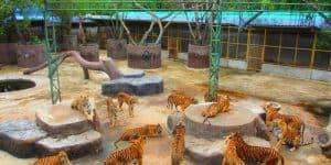 Вольер с тиграми