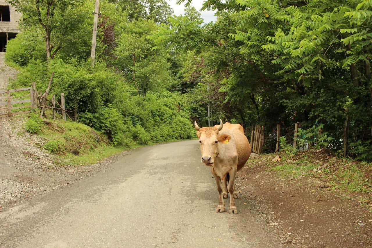 Грузинские коровы, гуляющие по дорогам