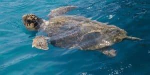 Черепахи острова Закинф в Греции