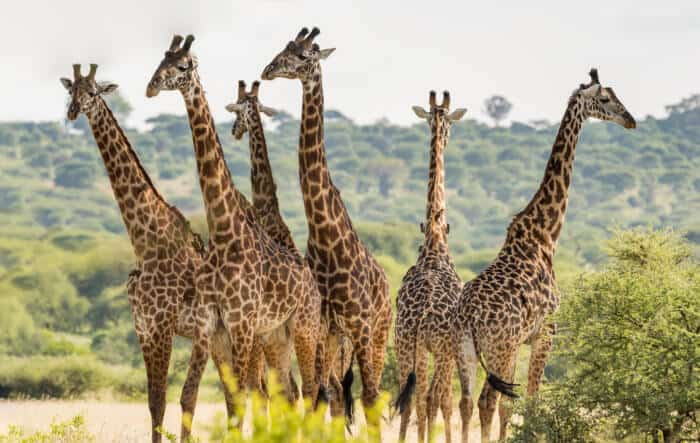 Жирафы в национальном парке Танзании